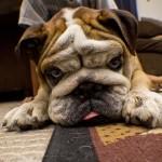Bulldog - Jeremiah Moralez
