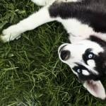 Husky - Jeremiah Moralez